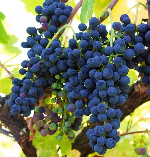 Doneland Obsidian Syrah: Grape cluster. ©Donelan Wines